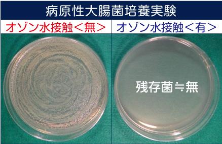 病原性大腸菌培養実験