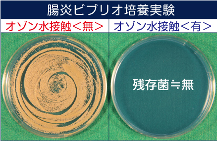 腸炎ビブリオ培養実験